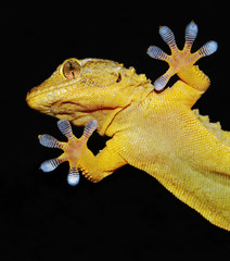 gecko shows his ten adhesive fingers