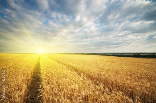 Meadow of wheat.