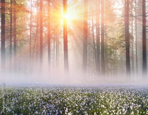 Daffodils at sunrise © panaramka