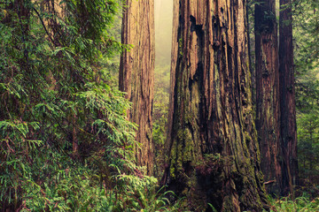 Old Redwood Trees
