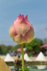 pink lotus bud with the leaf under sunlight