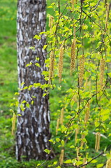 catkins on the branch of a birch