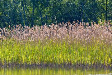 Reeds on the beach