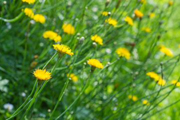 bright yellow dandelion flowers in green grass in summer garden