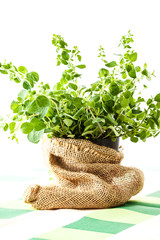 Fresh oregano in a flowerpot