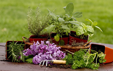 Herbs in planters ready to plant. Lilacs on Picnic table.