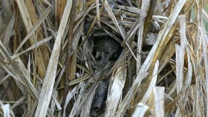Two chiffchaffs near the nest