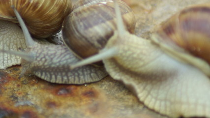 Three Snails.Mating game snails.
