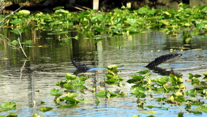 Everglades N.P. - The gator