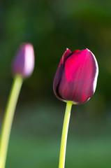 Tulipe noir