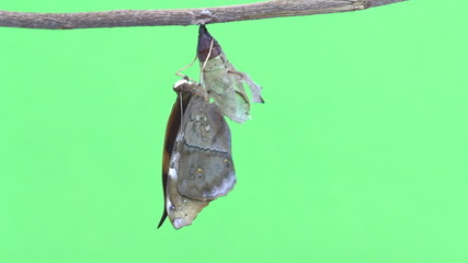 New born Autumn leaf butterfly emerging from pupa