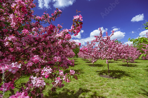 Fotobehang Crimson Apple tree in spring with purple blossoms