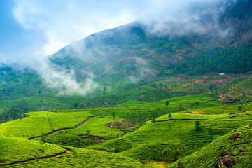 green tea plantations with fog early in the morning, Munnar, Ker