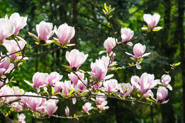 flowered Magnolia