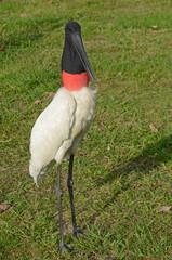 Male Jabiru Stork, called Tuiuiu, in the Brazilian Pantanal