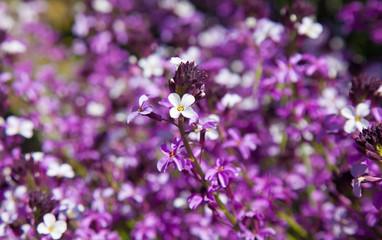 abundant flowering of Erysimum albescens