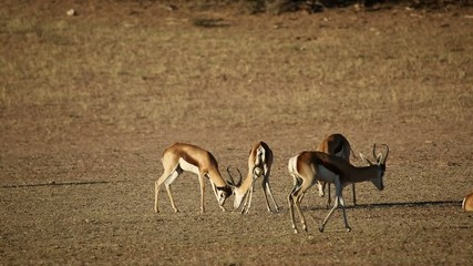 Springbok antelopes fighting, Kalahari desert
