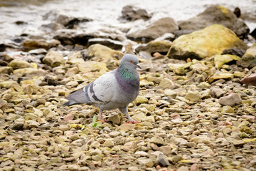 Pigeon Close to the River