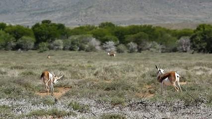 Karoo landscape with springbok antelopes, Kamdebo National Park