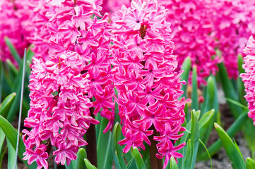 Macro shot of vibrant pink hyacinth