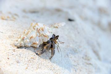 Hermit Crab walking on beach