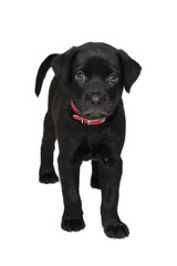 isolated black labrador puppy