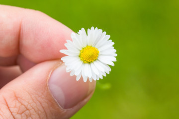 Daisy Between Fingers Macro With Green Background