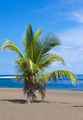 cocotier sur plage de la Réunion