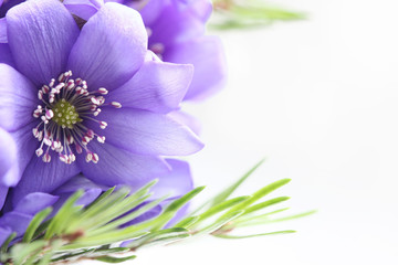 Purple flower and small fir-tree branches