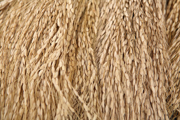 Harvested brown rice, Bali, Indonesia