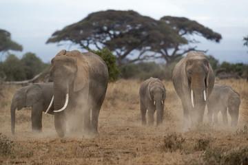 Herd of African Elephants dusting