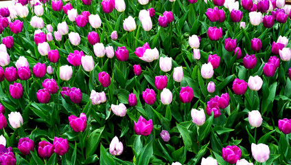 Pink and purple tulip flowers field