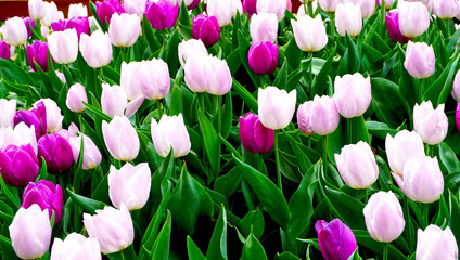 Pink and purple tulip flowers in the park