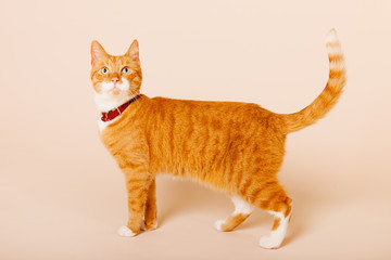 Red cat on beige background