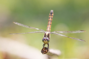 closeup of beautiful dragonflies on  green background