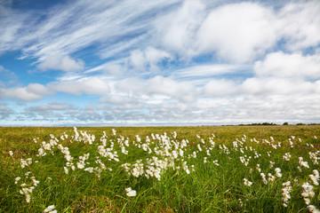 Cotton grass tundra