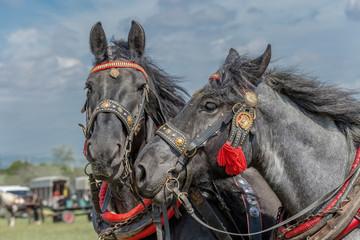 Horses pair.