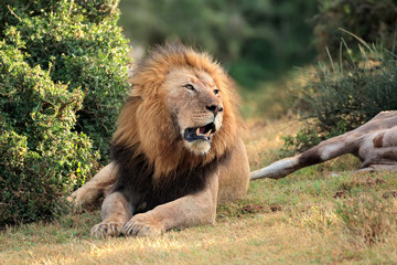 Big male African lion guarding his prey