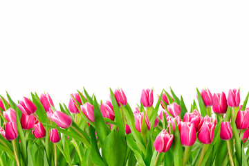 Tulips in a field isolated on a white background