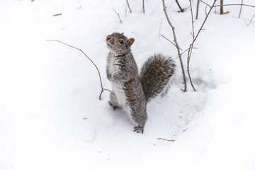écureuil dans la neige attendant de la nourriture