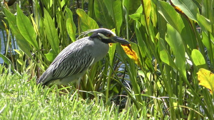 Yellow crowned night heron in the Everglades