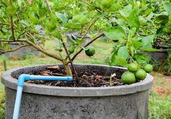 Growing Limes in cement tanks