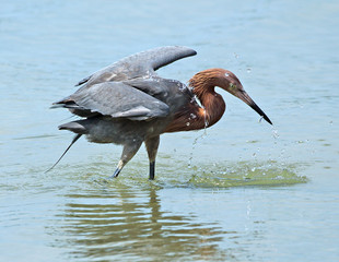 Reddish egret with fish in bill, Fort De Soto state park, Florid