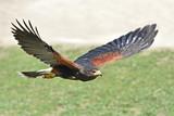 Harris hawk (Parabuteo unicinctus)