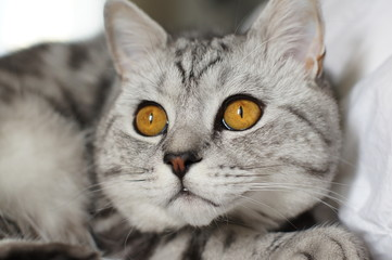 Marble british cat with wide opened eyes