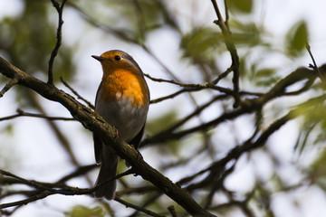 Rotkehlchen -Robin auf einem Ast sitzend