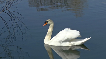 A graceful Swan swimming on a lake in a bird sanctuary