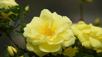 Yellow rose video