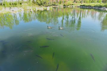 Утки и форель на озере