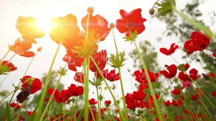 Beautiful Red Poppies flowers in sunny day
